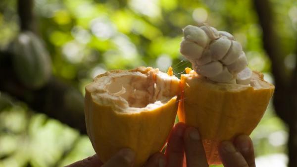 Pará vai ganhar mapa com o cultivo do cacau no estado.