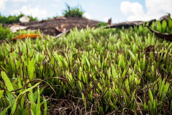 Emater distribui mais de 100 mil mudas de açaí e cacau para agricultores