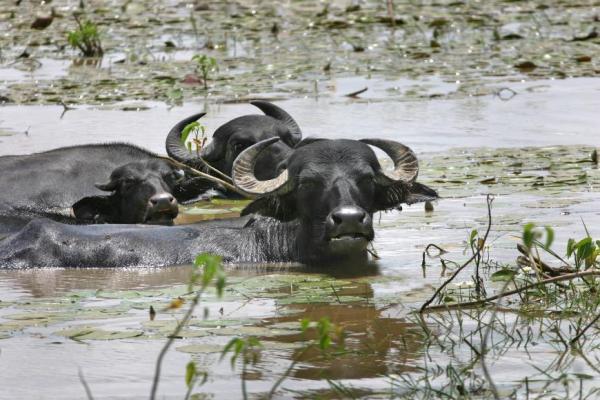 Sêmen importado da Índia vai desenvolver a bubalinocultura no Pará