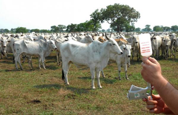 Pará deverá ser área livre de febre aftosa sem vacinação