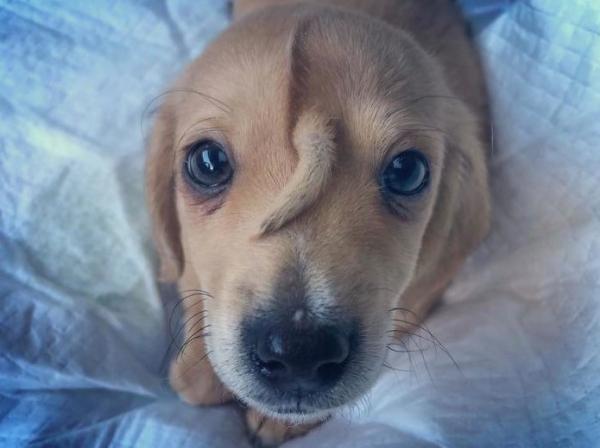 Cão resgatado tem um rabo na testa