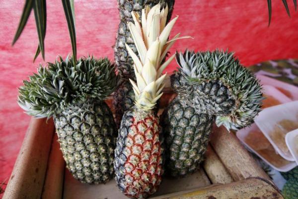 Floresta do Araguaia sedia a 25ª edição do Festival do Abacaxi
